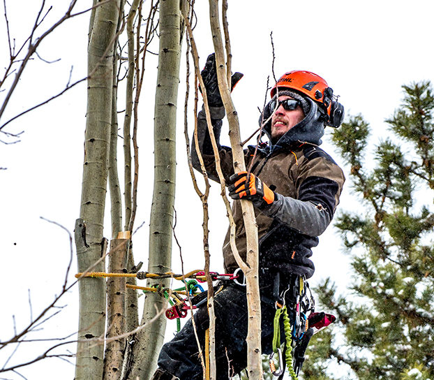 Large Tree Trimming By A Tree Climber