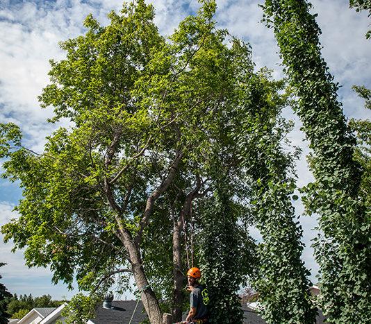 Crane Tree Removal