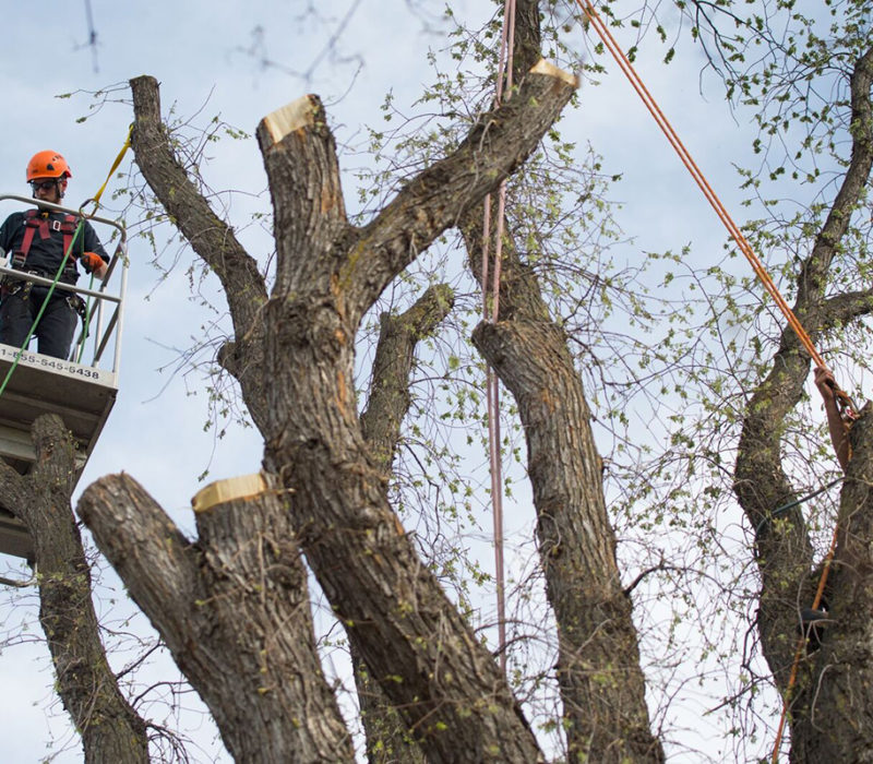 Elm Tree Removal